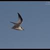 Juvenile Least Tern, Robb Field, San Diego River, San Diego County, California, July 2011
