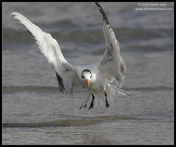 Royal Tern landing, Coronado Ferry Landing, San Diego County, California, February 2012