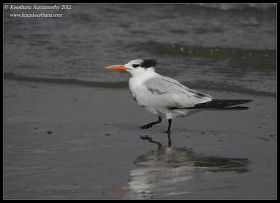 Royal Tern, Coronado Ferry Landing, San Diego County, California, February 2012