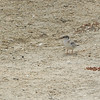 Least Tern (Sternella antillarum) chick Bolsa  Chica Reserve, Huntington Beach, CA