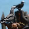 Brown Noddy (Anous stolidus) Garden Key, Dry Tortugas NP, FL