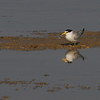 Least Tern (Sternella antillarum) South Padre Island, TX