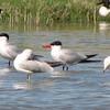 Caspian Tern (Sterna caspia) Long Lake NWR, ND
