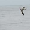 Caspian Tern (Sterna caspia) La Jolla, CA