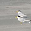 Least Tern (Sternula antillarum)Beachwalker SP, Kiawah Island, Charleston SC