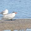 Caspian Tern (Sterna caspia) Aransas NWR, Rockport TX