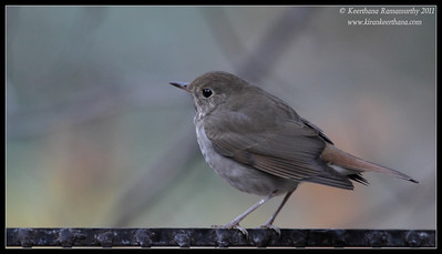 Hermit Thrush at the Madera Kubo feeders, Madera Canyon, Arizona, November 2011
