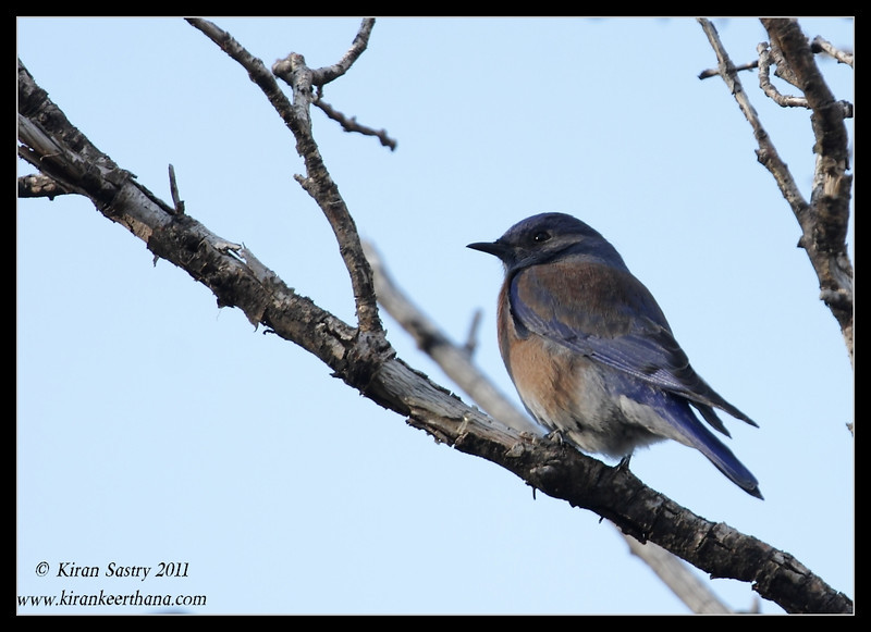 Male Eastern Bluebird at the Mt. Wrightson parking lot, Madera Canyon, Arizona, November 2011