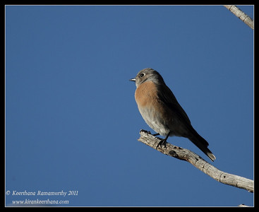 Female Eastern Bluebird at the Mt. Wrightson parking lot, Madera Canyon, Arizona, November 2011