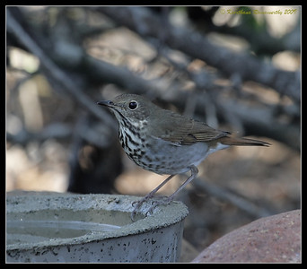 Hermit Thrush, The Drip, Cabrillo National Monument, San Diego County, California, November 2009