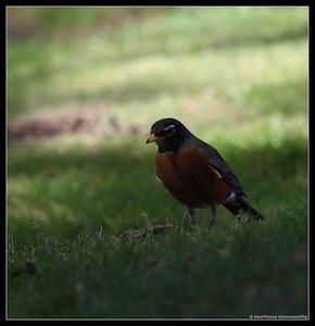 American Robin, El Camino Memorial Park, San Diego County, California, February 2009