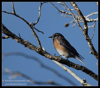 Male Eastern Bluebird at the Mt. Wrightson parking lot, Madera Canyon, Arizona, November 2011