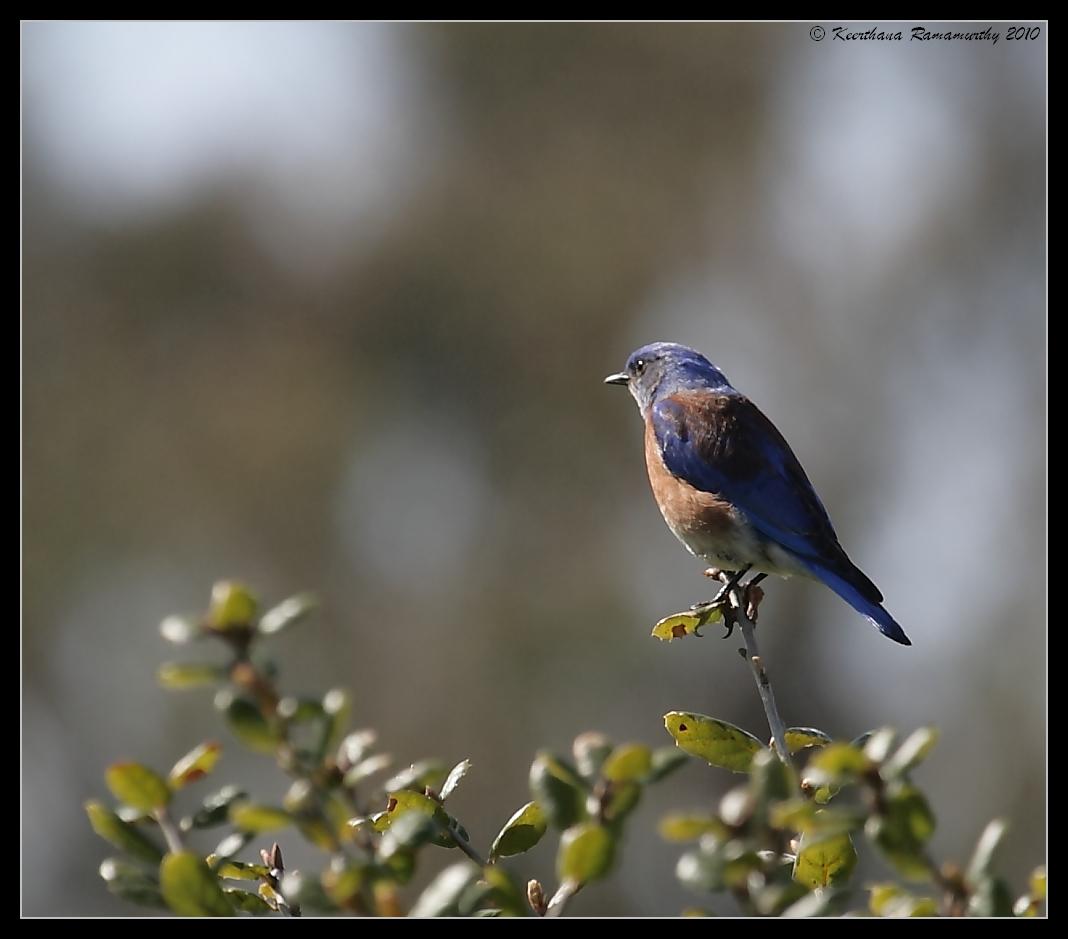 Western Bluebird, Guajome Regional Park, San Diego County, California, February 2010