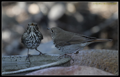 Hermit Thrushes at peace, The Drip, Cabrillo National Monument, San Diego County, California, November 2009