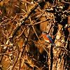 Eastern Bluebird (Sialia sialis) Bismarck, ND