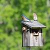 Eastern Bluebird (Sialia sialis) Nashville, TE