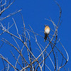 Eastern Bluebird (Sialia sialis) Huachuca Mountains, AZ