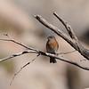 Western Bluebird (Sialia mexicana) Phoenix, AZ