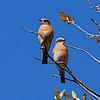 Western Bluebird, (Sialia mexicana) Chiricuahua Mountains, AZ