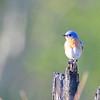 Eastern Bluebird (Sialia sialis) Murphy Hanrahan SP. Scott Co., MN