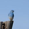 Mountain Bluebird (Sialia currucoides) Monticello UT