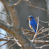 Eastern Bluebird (Sialia sialis) North Morton County, ND