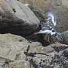 Black Turnstone (Arenaria mealanocephala) Carmel, CA