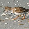 Ruddy Turnstone (Arenaria interpres) Sannibel Island, FL