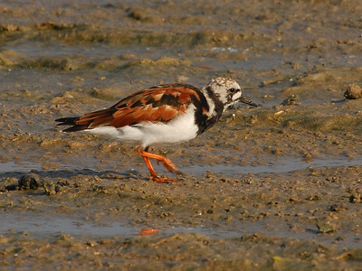Turnstones and Surfbird