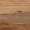 Ruddy Turnstone (Arenaria interpres) Long Lake NWR, ND
