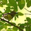 White-eyed Vireo (Vireo griseus) Edisto Nature Trail, Jacksonboro SC