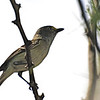 White-eyed Vireo (Vireo griseus) Brownsville, TX