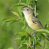 Bell's Vireo (Vireo bellii) Beaver Bay,  Emmons Co. ND