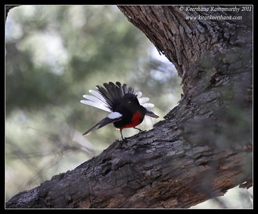 Painted Redstart at the Proctor Road Trail, Madera Canyon, Arizona, November 2011