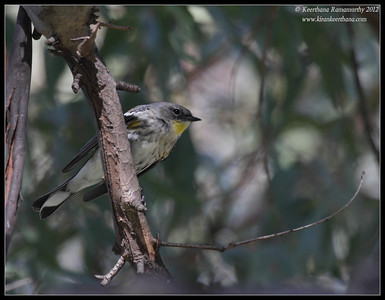Yellow-rumped Warbler, Lake Jennings, San Diego County, California, January 2012