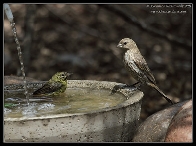Orange-Crowned Warbler and House Finch, The Drip, Cabrillo National Monument, San Diego County, California, June 2011