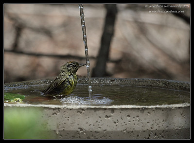 Orange-Crowned Warbler cooling off, The Drip, Cabrillo National Monument, San Diego County, California, June 2011