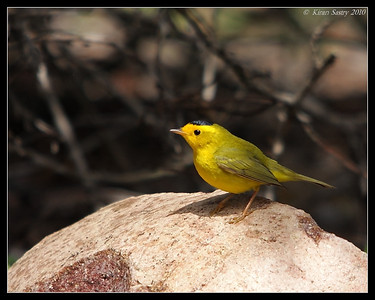 Wilson's Warbler, The Drip, Cabrillo National Monument, San Diego County, California, April 2010