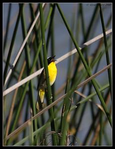 Common Yellowthroat singing, San Joaquin Marsh, Orange County, Los Angeles, California, May 2010