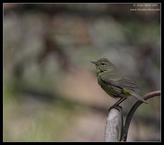 Orange-Crowned Warbler, The Drip, Cabrillo National Monument, San Diego County, California, June 2011