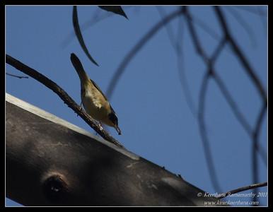 Common Yellowthroat, Lower Otay Lake, San Diego County, California, October 2011