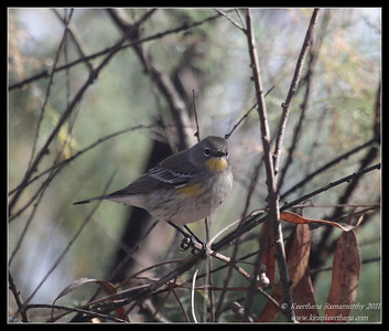 Yellow-rumped Warbler, Lower Otay Lake, San Diego County, California, October 2011