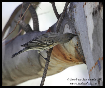 Yellow-rumped Warbler sucking sap from the tree trunk, Lake Jennings, San Diego County, California, January 2012