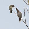 Bohemian and Cedar Waxwings (Bombycilla garrulus et cedrorum) arguing, Great Plains Agricultural Research Station, Mandan ND