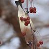 Cedar Waxwing (Bombycilla cedrorum) Bismmarck, ND
