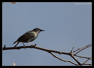 European Starling, Santee Lakes, San Diego County, California, October 2009