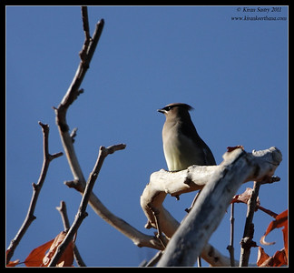 Cedar Waxwing at the Proctor Road Trail, Madera Canyon, Arizona, November 2011