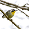 Yellow-throated Warbler 2