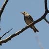 Ovenbird (Seiurus aurocapilla) Mio MI