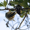 Worm-eating Warbler (Helmitheros vermivorum) Garden Key, Dry Tortugas NP, FL